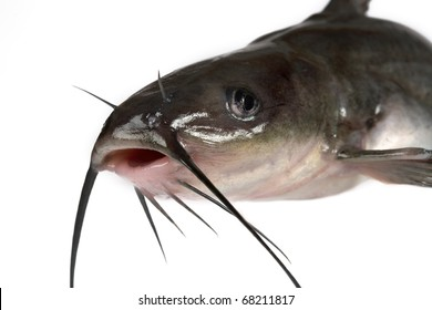 Channel catfish isolated on a white background. Traditionally American kind of a fish.