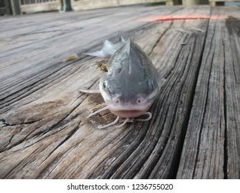 Channel Catfish, River Breeze Park, Mims, FL