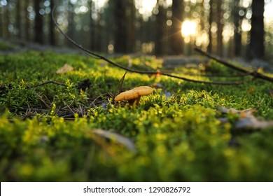 Chanterelle mushroom in moss in forest. macro