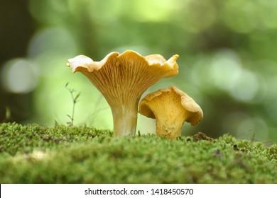 Chanterelle mushrooms close up. Edible mushroom Cantharellus cibarius in forest