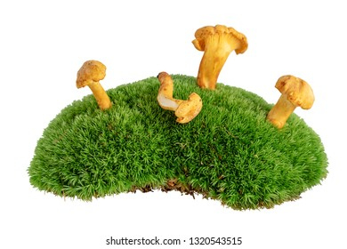 Chanterelle mushrooms on mossy undergrowth isolated on white