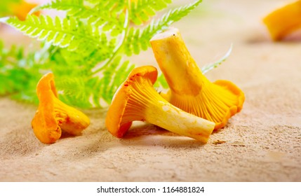 Chanterelle mushrooms, Raw wild chanterelles mushroom on rustic background. Organic Fresh chanterelle on a table. Soft focus