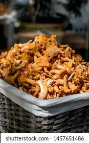 Chanterelle season mushrooms, a mountain of fresh chanterelles