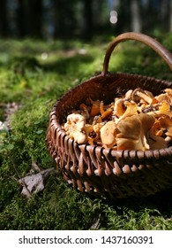 Chanterelles in basket at forest. Picked chanterelles.