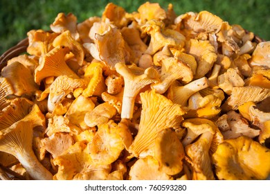 Chanterelles on green background