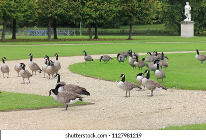 CHANTILLY, OISE / FRANCE - AUGUST 30 2014: Canada goose in the Chateau de Chantilly landscape park