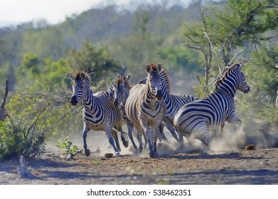 CHAOS THEORY.  A stampede of startled zebra (Equus burchelli) at a waterhole. Kruger National Park, South Africa