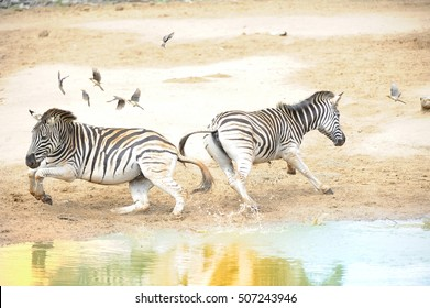 CHAOS THEORY. Startled zebras (Equus burchelli) explode in panic at a waterhole in the Zululand bushveld. Kwazulu Natal, South Africa.