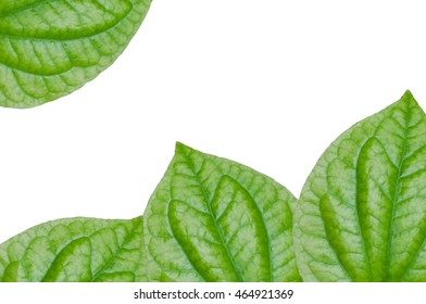 Chaplo Green leaf isolated on white  background,Piper lolot leaf,Concept eco,for background
