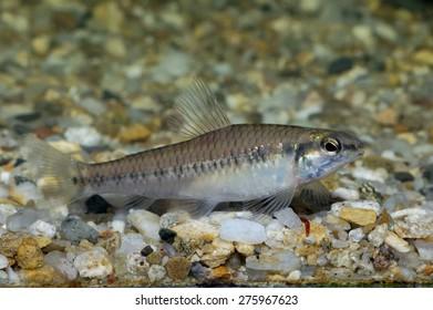Characid fish