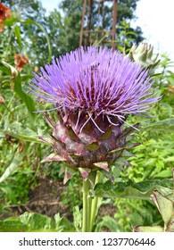 The characteristic purple haired flower head of a decorative artichoke thistle called Cardoon