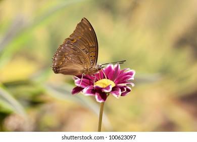 Charaxes cithaeron butterfly