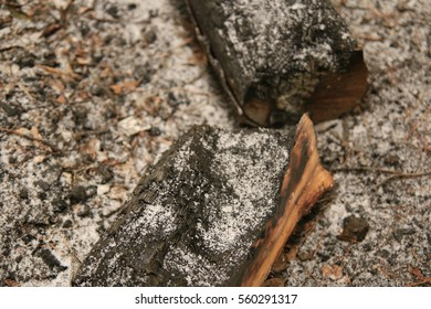 Charcoal, burning residue, charcoal of pine trees, a slight snowfall,