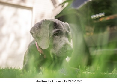 Lab Puppies Playing Images, Stock Photos & Vectors