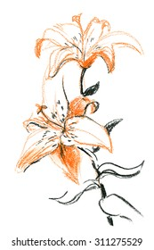 Charcoal and sanguine sketch: Orange lily