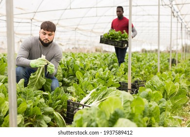 Chard harvesting process in a greenhouse. High quality photo