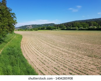 Chard or Swiss chard (Beta vulgaris subsp. Vulgaris, Cicla Group and Flavescens Group) is a green leafy vegetable. Here is a mangold plantation near Kelheim, Bavaria – Germany