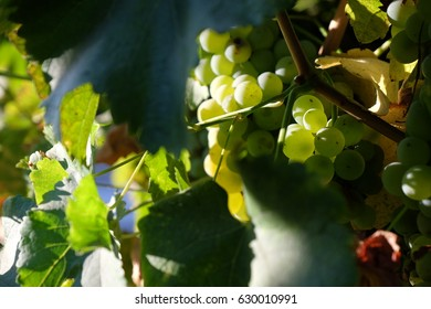 Grapes, Wine, Red Wine, Cabernet Sauvignon, Champagne, White Wine, Wine  Glass, Wine Grapes transparent background PNG clipart   HiClipart