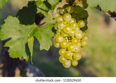 Chardonnay grapes variety on vineyard, for white wine production. Also called Aubaine, Beaunois, Gamay blanc, Melon blanc, Pinot Chardonnay, close up