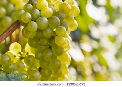 Chardonnay grapes variety, for white wine production. Also called Aubaine, Beaunois, Gamay blanc, Melon blanc, Pinot Chardonnay