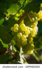 Chardonnay is a green-skinned grape variety used in the production of white wine.