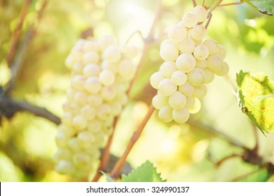 Chardonnay, Sauvignon or Rkatsiteli green ripe bunch of grapes in vineyard during fall harvest