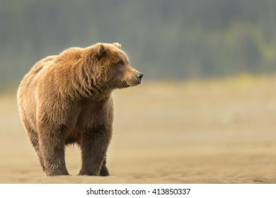 Charging Grizzly Bear (Ursus arctos)