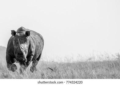 A Charging Rhino
