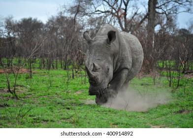 Charging rhino kicking up dust.