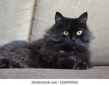 Charismatic long-haired black cat. Siberian cat