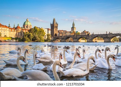 Charles Bridge and old town over Vltava river in Prague, Czech Republic on white swans background.