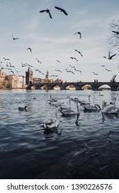Charles Bridge in Prague.  Swans in Prague.