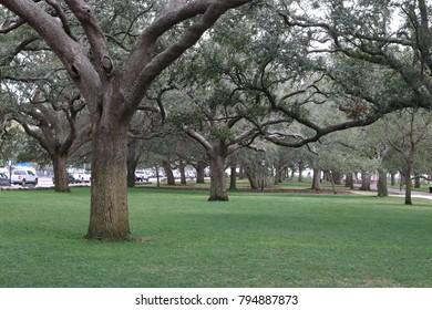 Charleston Oak Trees