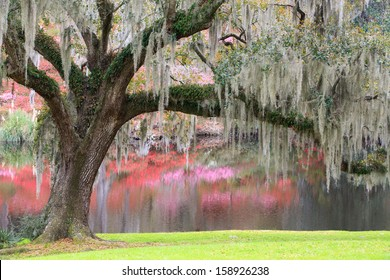 Charleston, South Carolina southern living oak tree with hanging moss in an outdoor garden