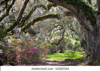 Charleston South Carolina Sunny Spring Scenic Live Oaks, Blooming Azalea, and Spanish Moss