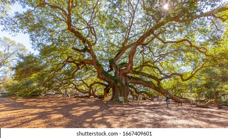 Charleston, South Carolina, USA - February 28, 2020: Angel Oak tree in Charleston, South Carolina, USA, a Southern live oak (Quercus virginiana) estimated to be 400-500 years old.