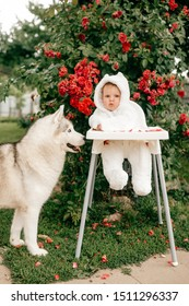 Charming baby boy in bear costume sitting in high chair with husky dog outdoor near bushes with red flowers.