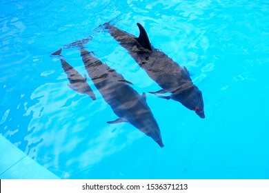 A charming baby dolphin swims surrounded by adult dolphins in the pool. Dolphin with cub swim in the pool. View from above. Dolphin with cub swim in the pool.