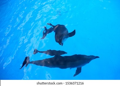 A charming baby dolphin swims surrounded by adult dolphins in the pool. Dolphin with cub swim in the pool. View from above. Dolphin with cub swim in the pool