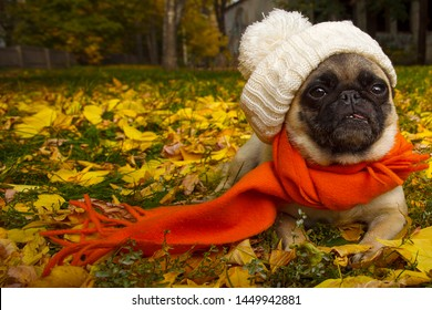 Charming baby pug on a walk in the autumn park in an orange scarf and white hat, love of dogs and care for them, dog walking. Poster. Billboard. Copy space.