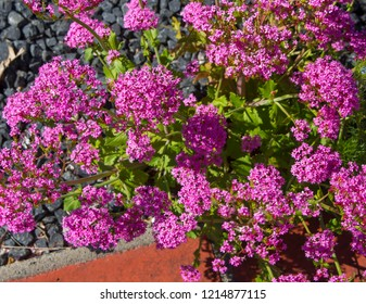 Charming Centranthus ruber Pretty Betsy with soft clusters of small, trumpet-shaped pink flowers or red valerian ,fox's brush ,Spanish valerian ,spur valerian,German lilac, Kiss me Quick plant.