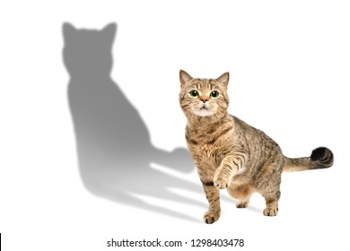 Charming curious cat Scottish Straight standing with raised paw isolated on white background with shadow