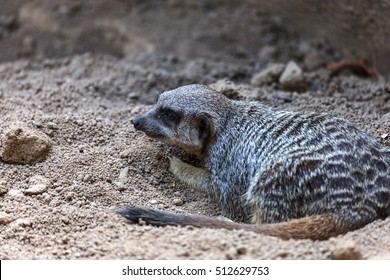 Charming curious prairie rodents; ground squirrels in the zoo enclosure equipped. Common ground squirrel. Wild animals of the steppe zone of the middle band