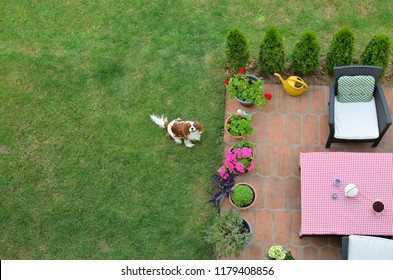 Charming dog - Cavalier King Charles Spaniel - on a garden lawn shot from above - bird's-eye view