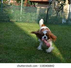 Charming dog - Cavalier King Charles Spaniel - joyfully running with a toy on a garden lawn