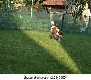 Charming dog - Cavalier King Charles Spaniel - running with a toy on a garden lawn