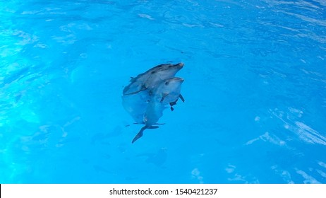 A charming dolphin baby swims with his mom dolphin in pool. Two dolphins enjoing together. Dolphin with cub swim in the pool