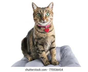 Charming domestic Bengali breed cat sits on a soft pillow and looks into the camera. Mixed media