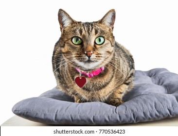 Charming domestic Bengali cat lays on a soft pillow and looks into the camera. Mixed media