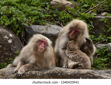 Charming family couple of  snow monkeys from Jigokudani Monkey Park in Japan in April ,Yudanaka station, Nagano prefecture